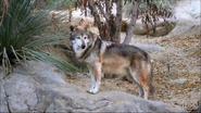 El Paso Zoo Wolf