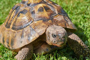 Hermanns tortoise shutterstock 785123584.jpg