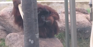 Kansas City Zoo Orangutan