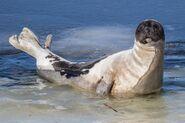 Seal, Harp