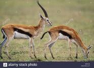 Thomson's Gazelle Buck and Doe