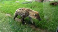 Toronto Zoo Hyena