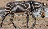 Zebra, Mountain (V2)