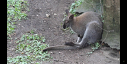 Brookfield Zoo Wallaby