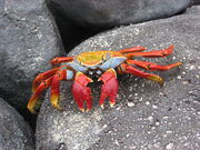 Crab, Sally Lightfoot.jpg