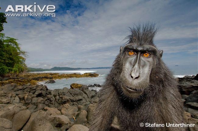 Celebes Macaque