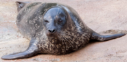 Fresno Zoo Harbor Seal