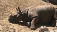 Fresno Zoo Indian Rhino