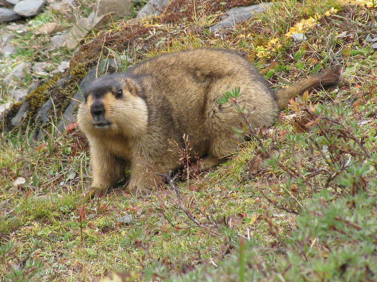 Hymalayan Marmot