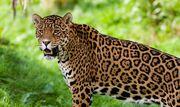 Jaguar-guyana-national-animal-1.jpg