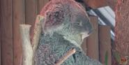 LA Zoo Koala