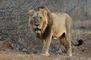 Lion, Asiatic
