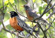 Male and Female American Robins