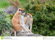 Male and female patas monkeys