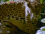 Mama Mirabelle Jaguar
