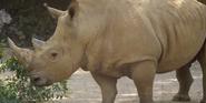 Memphis Zoo Rhino