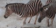 Milwaukee County Zoo Zebras