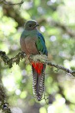 Quetzal-f-db2.jpg