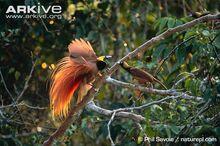 Raggiana-bird-of-paradise-male-displaying-to-female-on-branch.jpg