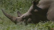 Rhinoceroses Had to Be Shot