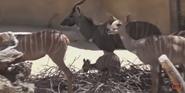San Diego Zoo Kudu