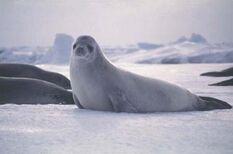 Seal, Crabeater.jpg