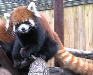 Utica Zoo Red Panda