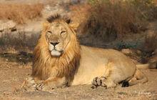 Dr-HS-Singh-Asiatic-lion.jpg
