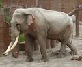 Elephant, Asian