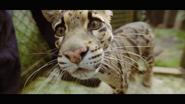 Howlett's Wild Animal Park Clouded Leopard