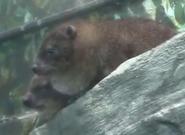 Louisville Zoo Hyraxes