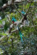 Male and Female Resplendent Quetzals