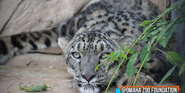 Omaha Zoo Snow Leopard