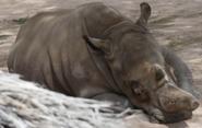 Reid Park Zoo Rhino