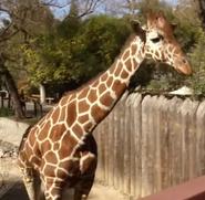 Sacramento Zoo Giraffe