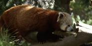 Sacramento Zoo Red Panda
