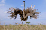 Serengeti Ostrich