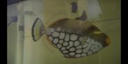 Tanked! Triggerfish