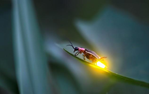 Firefly (animal)