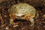 African bullfrog (Pyxiecephalus adspersus)