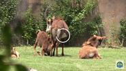 Baton Rouge Zoo Sable Antelope