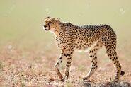 Cheetah, South African