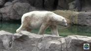 Cincinnati Zoo Polar Bear V2