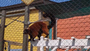 Columbus Zoo Red Ruffed Lemur