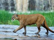 Cougar, North American (V2)