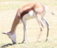 Fresno Zoo Springbok