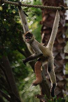 Geoffroy's Spider Monkey (V3).jpg