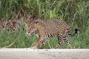 Jaguar, Brazilian