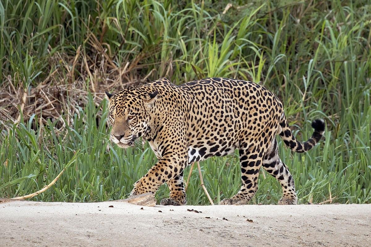 Brazilian Jaguar