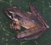 Javan torrent frog.jpg